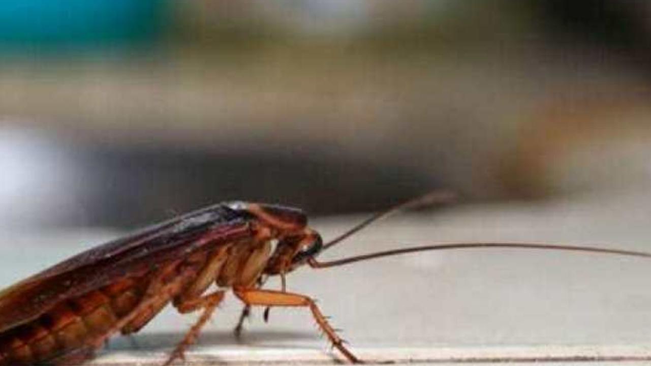 Baratas criam resistência e estão se tornando imunes a inseticidas; diz estudo