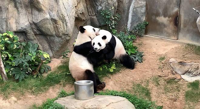Graças a isolamento, pandas em zoológico acasalam após dez anos
