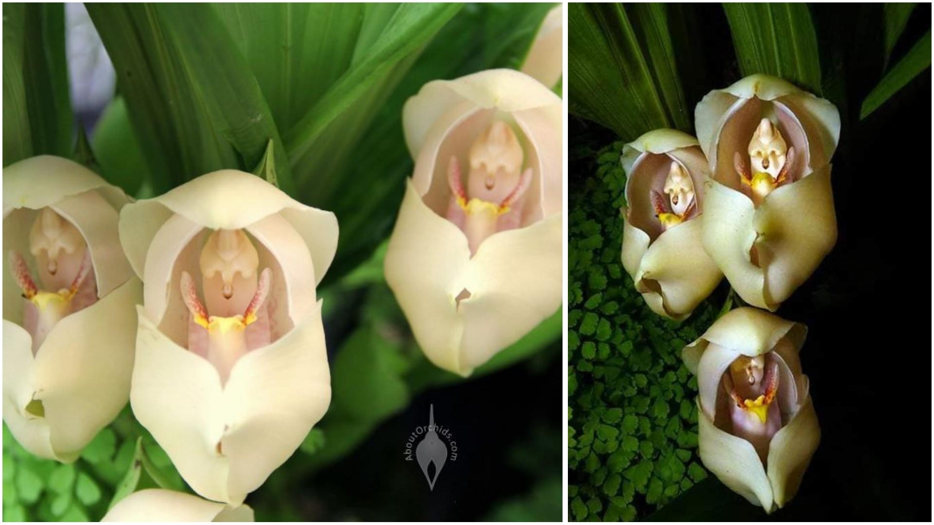 Conheça as incríveis orquídeas que parecem ter bebês dentro das pétalas